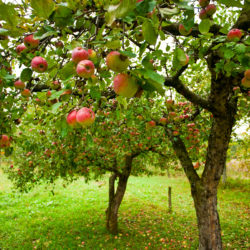 How Much Space Do You Need Between Fruit Trees?